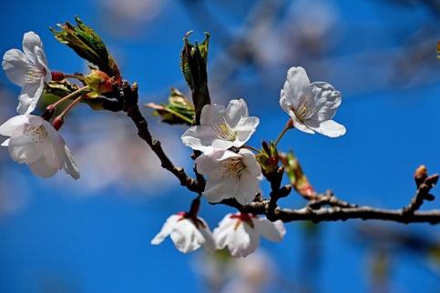 2014_Sakura_cherry_blossomss.jpg